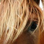 horse-fascia-massage